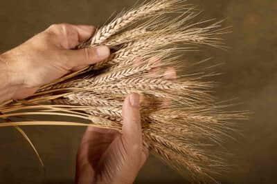 engorda el trigo